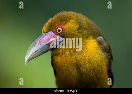 A Saffron Toucanet from the Atlantic Rainforest of SE Brazil - Stock Image