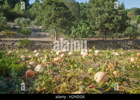 Pumpkin Patch in Autumn, Portugal - Stock Image