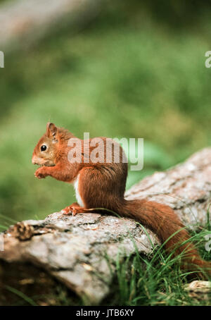 Red Squirrel or Eurasian Red Squirrel,(Sciurus vulgaris), sitting on a log eating, Formby National Trust Reserve, Liverpool,Merseyside, United Kingdom - Stock Image