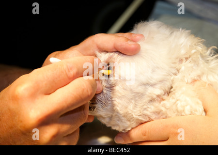 Debridement of a Corneal Ulcer in a Dog - Stock Image