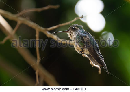 Santa Clara, Villa Clara, Cuba, bee hummingbird perched on a thin branch of a tree. The bird is one the smallest in the world and it is endemic of the - Stock Image