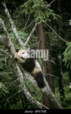 Giant panda  in tree, Wolong, China - Stock Image