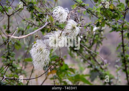 Beautiful white wild grass feathery flower - Stock Image