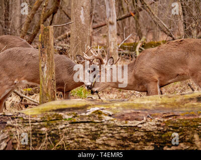 Two young adult white-tailed deer (Odocoileus virginianus) bucks engaging in friendly sparring. Thatcher Woods, River Forest, Illinois. - Stock Image