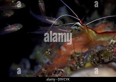White-banded Cleaner shrimp (Lysmata amboinensis) cleaning glassfish, Gaafu Alifu Atoll, Maldives - Stock Image