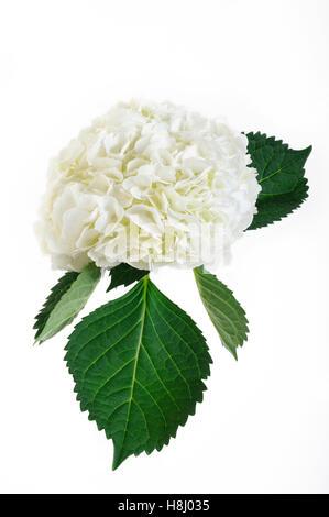 white hydrangea flowers on white background - Stock Image