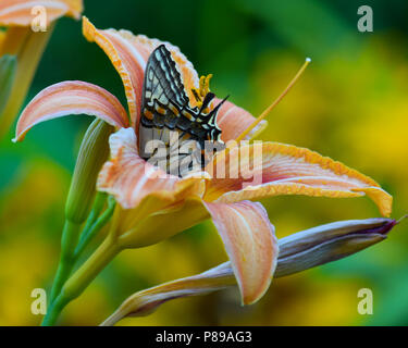 An eastern tiger swallowtail butterfly feeding inside an orange day lily in a garden in Speculator, NY USA - Stock Image