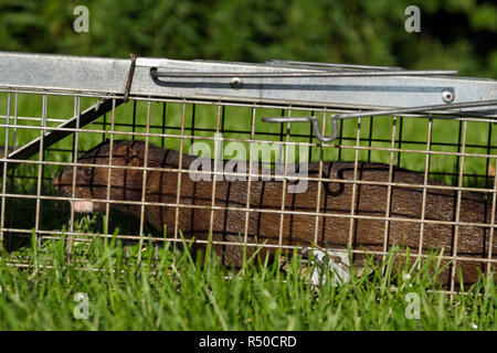 American mink with brown fur is a semiaquatic predator of fish caught in a humane release trap on a grass lawn in Toronto - Stock Image