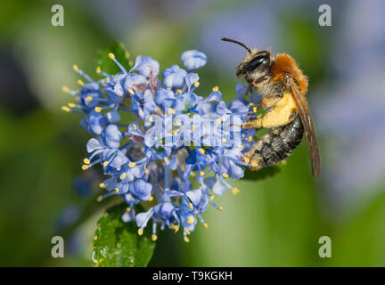 Andrena haemorrhoa (Early mining bee, Orange-tailed mining bee) collecting pollen from Californian lilac (Ceanothus) in Spring (May), West Sussex, UK - Stock Image