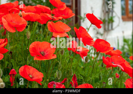 Mareham-le-Fen, Lincolnshire, UK - Red wild common poppies (Papaver rhoeas) in full bloom growing by the door of a typical English country cottage - Stock Image