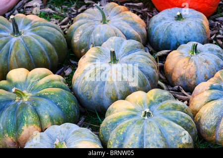group of blue pumpkins at rural country farm - Stock Image