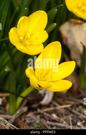 Yellow flowers of the late September blooming hardy bulb, Sternbergia lutea 'Autumn Gold' - Stock Image