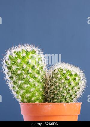A close up of a prickly cactus with sharp thorns in a pot with a blue background and copy space - Stock Image