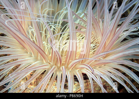 Close-up of a Sea Anemone. Anilao, Philippines - Stock Image