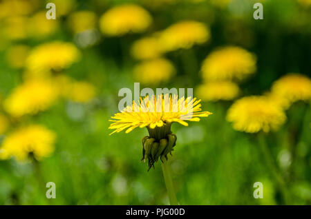 Dandeliions found growing at Pinhey's Point Heritage Property and Park - Stock Image