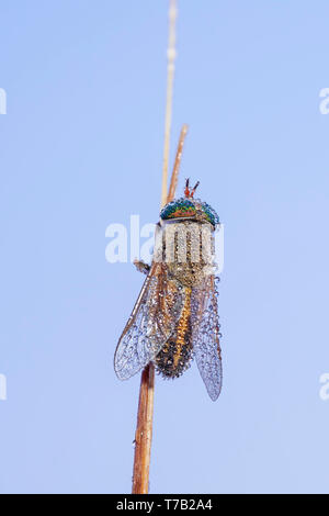 A female Horse Fly (Tabanus sp.) perches on its overnight roost in the early morning, covered in dew. - Stock Image