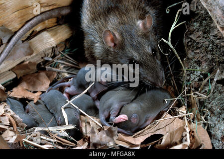 BROWN RAT Rattus norvegicus at nest with litter of young - Stock Image