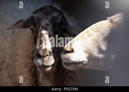 Rare rescued Female Mountain Sheep ( Provato ), Probably the Oldest Living, Close up Profiles, Saronida, East Attica, Greece. - Stock Image