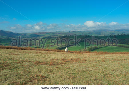 A lone sheep atop Hergest Ridge, the elongated hill which traverses the border between Herefordshire (England) and Powys (Wales), UK. - Stock Image