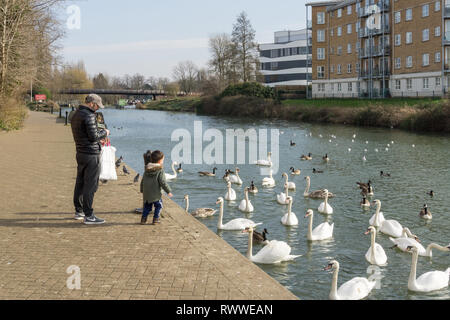 Father and young son feeding swans and geese on the River Nene, Northampton, UK - Stock Image