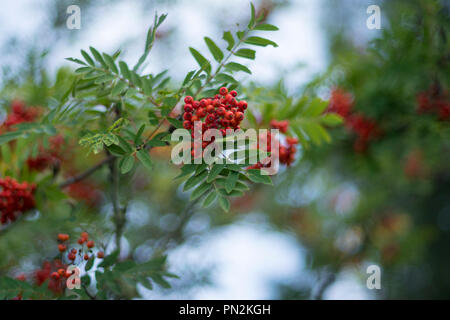 Scottish Native Red Rowan Berries on a tree, Scotland - Stock Image