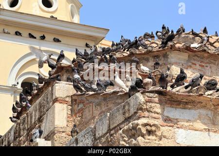 Urban birds, feral pigeons (Columba livia domestica) in Athens - Stock Image