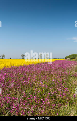 An oilseed rape field margin planted with flowering Red Campion (Silene dioica) under the Countryside Stewardship scheme - Stock Image