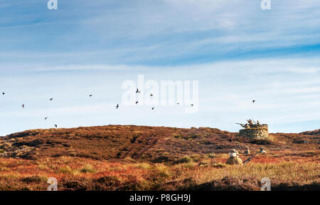 North Yorkshire, England UK - A grouse moor in early autumn a pack of grouse fly over the guns during a driven grouse shoot - Stock Image