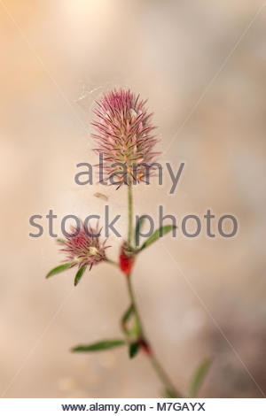 Closeup of meadow flower covered with poplar fluff - Stock Image