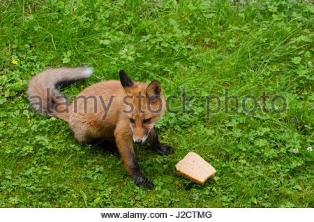 Fox cub coming to the garden wanting small piece of bread, lost its mother most likely. - Stock Image