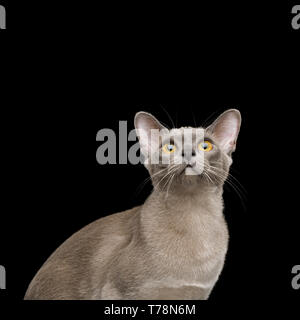 Portrait of Gray Cat Looking up, isolated on black background - Stock Image