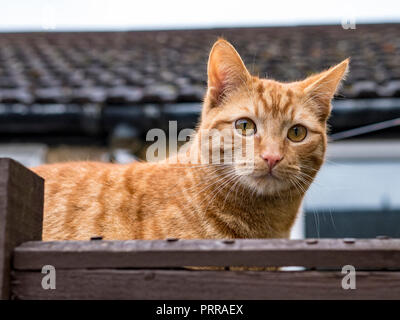 Ginger Cat on fence - Stock Image