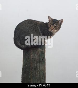 British Red Tabby Shorthair Tomcat - Stock Image