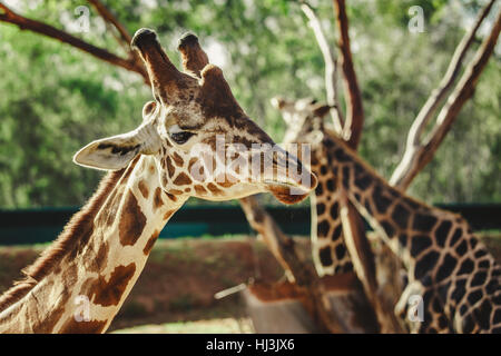 Giraffe in foreplan while two giraffes hug in the background - Stock Image