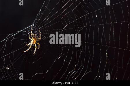 OrbWeaver spider Araneus Diadematus, European Garden Spider, Diadem Spider, Cross Spider on a web in Autumn sunshine the UK. - Stock Image