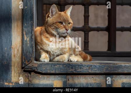 Orange color cat sitting in front of an old vintage window of historic house of Mostafa Gaafar El Selehdar, Cairo, Egypt - Stock Image