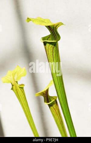 Three Pitcherplant heads against a pale background - Stock Image