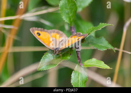 A female gatekeeper butterfly resting on a leaf with her wings open in the sun - Stock Image