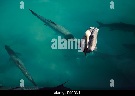 Some Pelicans and Tarpon fish at a dock at Robbie's of Islamorada in Lower Matecumbe Key. - Stock Image