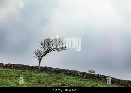 windswept tree in Dartmoor - Stock Image