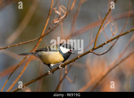 Great Tit, Parus major, perched on branch sounding alarm call, Hampstead Heath, London, United Kingdom - Stock Image