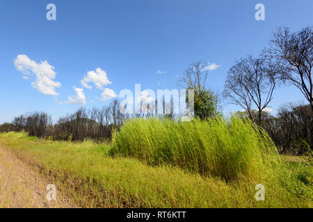 Contrast between vivid green grass against a background of black burnt trees, Bloomfield Track, near Cooktown, Far North Queensland, QLD, FNQ, Austral - Stock Image