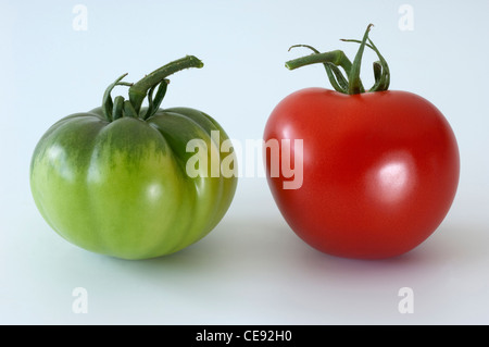 Tomato (Lycopersicon esculentum). Red and green fruit. Studio picture against a white background. - Stock Image