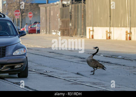 A male Canada goose shows aggresive behavior toward a passing car. The goose and his mate have a nest in an industrial area on Chicago's Goose Island. - Stock Image