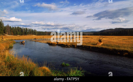Panoramic view of male elk along river during rutting season in Yellowstone National Park in Wyoming - Stock Image