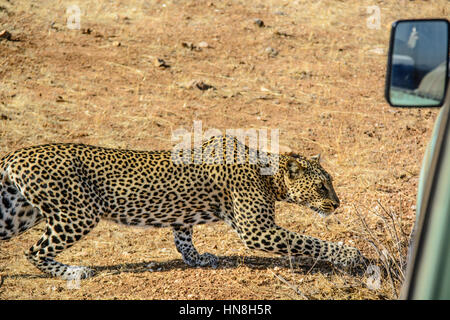Adult wild African Leopard, Panthera pardus, slinking past a safari vehicle in Samburu, Northern Kenya, Africa, - Stock Image