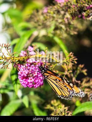 Monarch butterfly Danaus plexippus, feeding on buddleja davidii during southern migration in Kansas, USA. - Stock Image