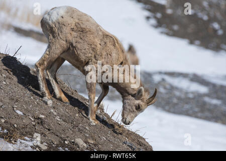 Rocky Mountain Bighorn Sheep (Ovis canadensis), Canmore, Alberta, Canada, Canadian Rockies in winter - Stock Image