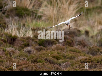 Male Hen Harrier (Circus cyaneus) returning to nest with nesting material, North Uist, Outer Hebrides, Scotland - Stock Image