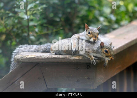 Eastern grey gray squirrels (Sciurus carolinensis) laying together on deck rail. - Stock Image